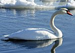 Swan on Lake, small